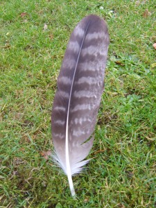 Eagle-feather.. Steenarend