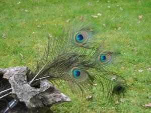 Pauwen staart-veren